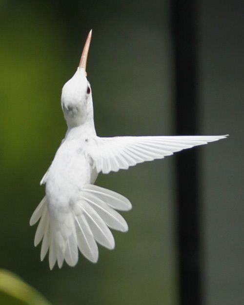 Amazing beauty - an albino ruby-throated hummingbird