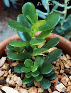 El Árbol de Jade o Árbol del Dinero, Crassula ovata