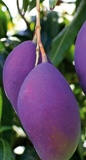 Brazilian Mango Tree | cynthia reccord