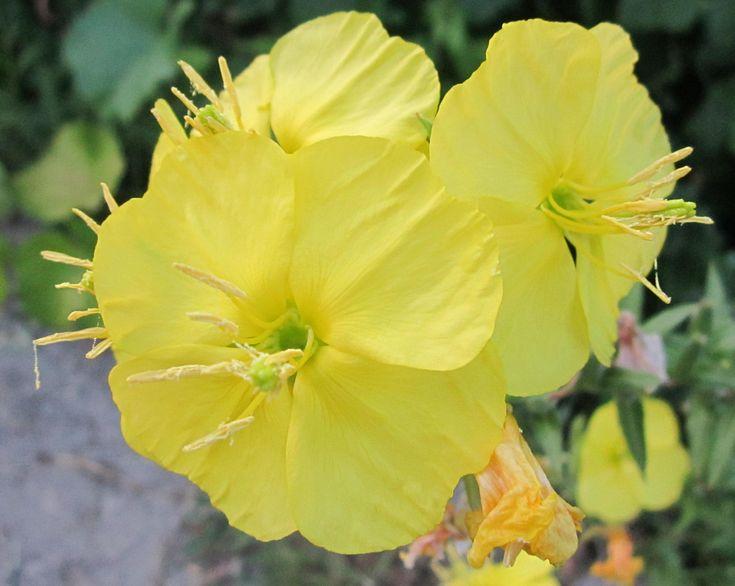 Энотера, ослинник, в простонародье — ночная фиалка, цветок удивительной красоты, распускающийся только после заката солнца. Всего за несколько минут из сине-зеленого куста энотера превращается в ярко-лимонную свечу.