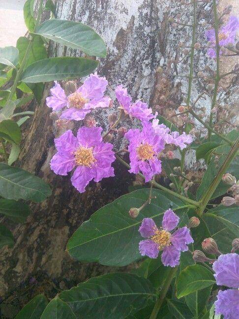 It's Bungur flower which grew on my school's yard