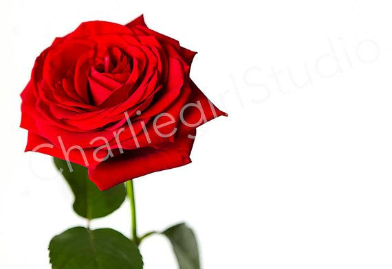 Red Rose / Styled Stock Photography /  by charlenemphotography
