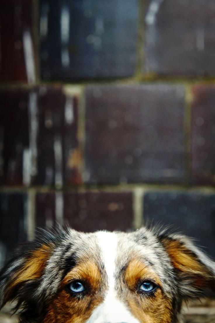 miniature australian shepherd. blue merle. bear. 6 months. puppy. dog.