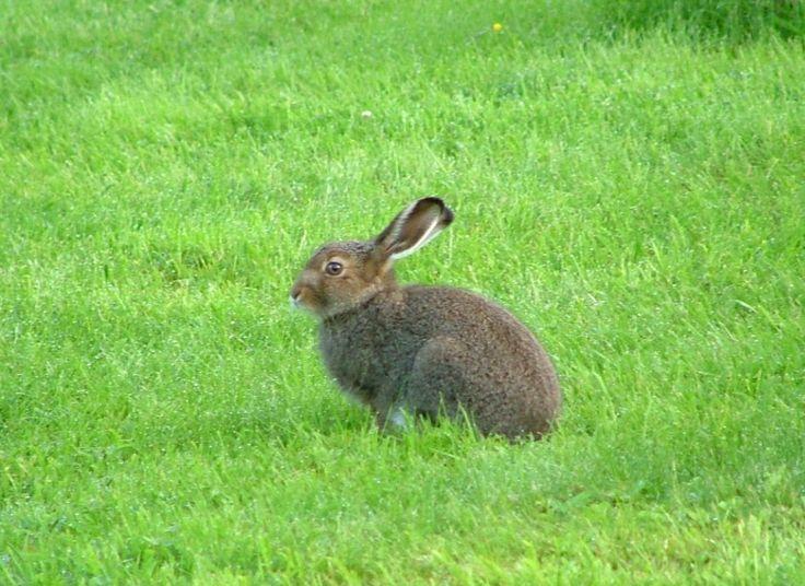 Hare – Wikipedia