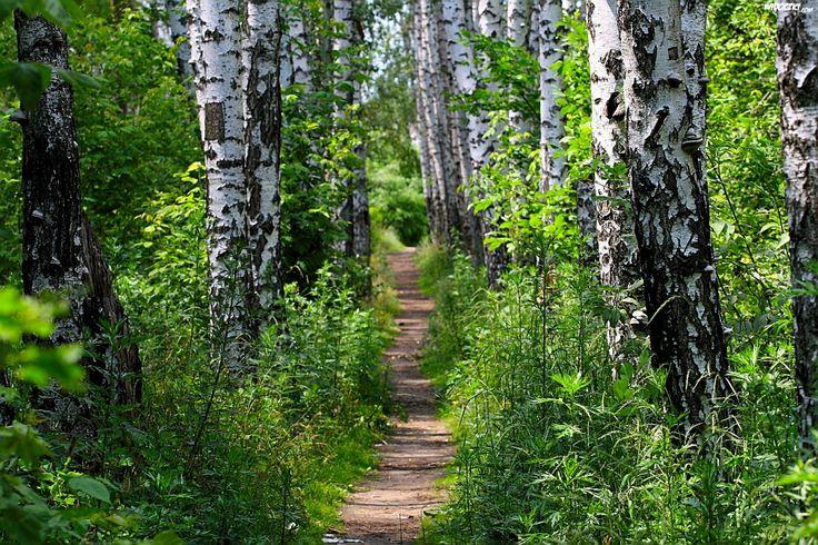 Path in a birch forest. Somewhere in Poland.