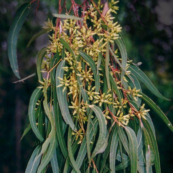 Eucalyptus tereticornis-possum and koala food source