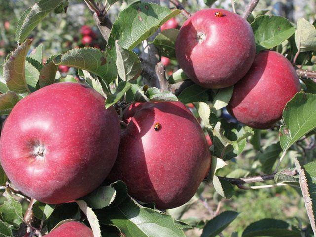 Alte Apfelsorten - Obst | Gemüse | Kräuter - Gartenpraxis - Mein Garten - gartenflora.de