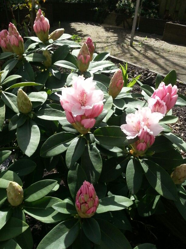 1000 id es sur le th me rododendron sur pinterest for Jardin wilson nice