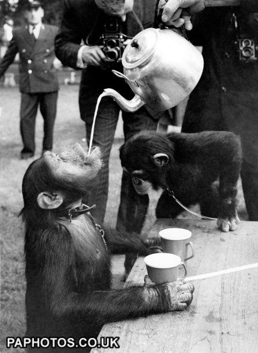 Animals - Chimps Tea Party - London Zoo | Page 1 | More Tea Vicar ...512 x 700 | 64.6KB | www.friendsreunited.co.uk