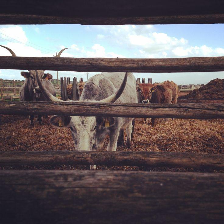 L'Andana: vacche maremmane curiose