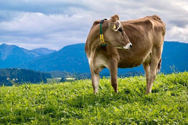 Allgäu - Typische Braunkuh auf der Wiese - Bayern