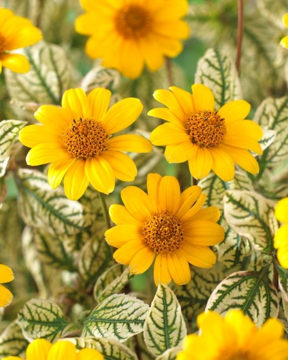 Buy Heliopsis Loraine Sunshine Online | Hayloft Plants