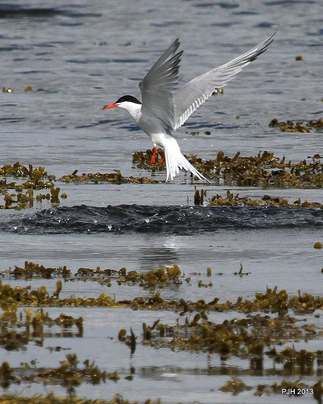 Tern take off: Cromarty Firth, August 2013. | by Peter J. Ham.