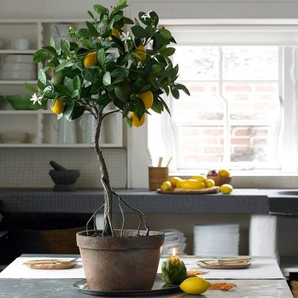 I'd be so happy to have a lemon tree in my house. Amazing.