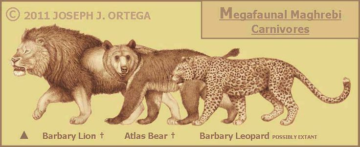barbary lion, atlas bear and barbary leopard