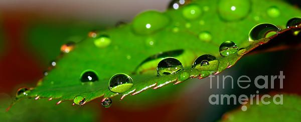 #DROPLETS ON #ROSE #LEAF by #Kaye #Menner #Photography Quality Prints Cards and more at: http://kaye-menner.artistwebsites.com/featured/droplets-on-rose-leaf-by-kaye-menner-kaye-menner.html