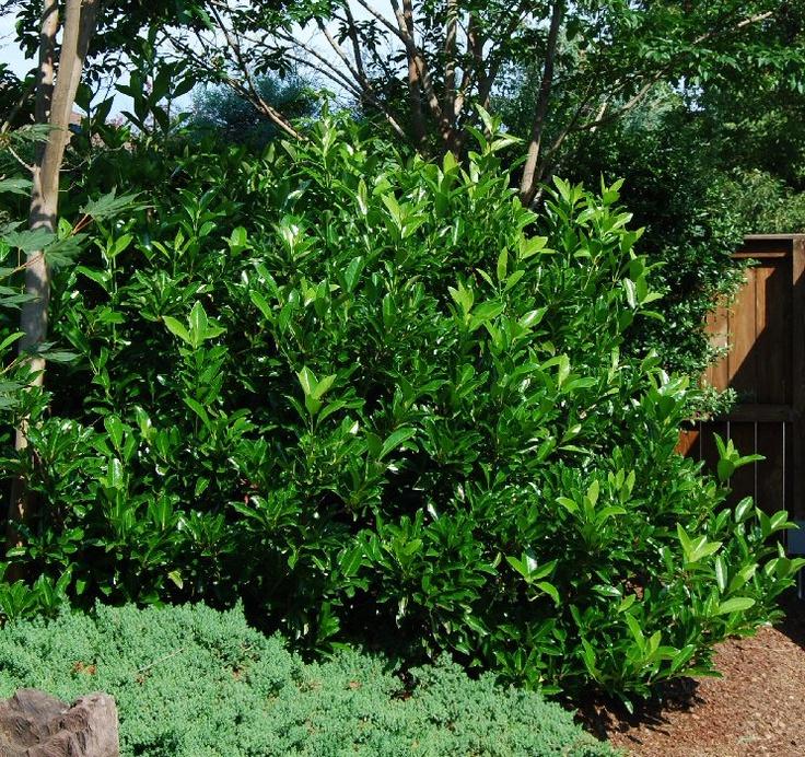 Photos For Best Rate Landscape Design: Viburnum Awabuki 'Chindo' (Chindo Viburnum)