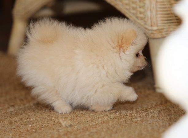 How cute is Charly the pomeranian pup, only eight weeks old