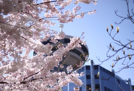 Cherry Blossoms in Downtown Vancouver #GILoveBC