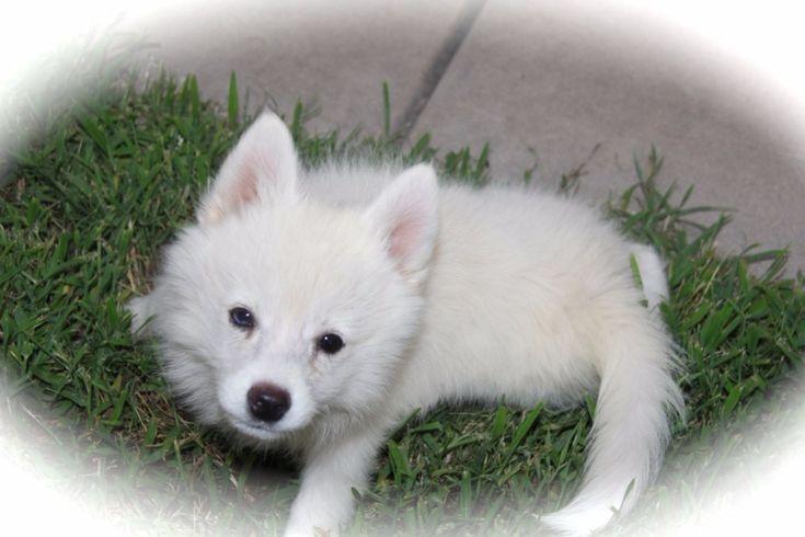 My Little Husky Review – Texas Pomsky Breeder