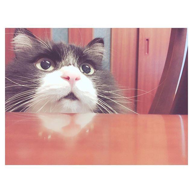 - 01 . 05 - ・ ・ #にあちゃん #愛猫 #猫 #今日のにゃんこ #口は開いてません #口元が黒いだけです ・ #おねえがおもしろ荘見てる #ぶるぞんちえみ #めっちゃおもろい あと#脳みそ夫 #あほっぽくて好き