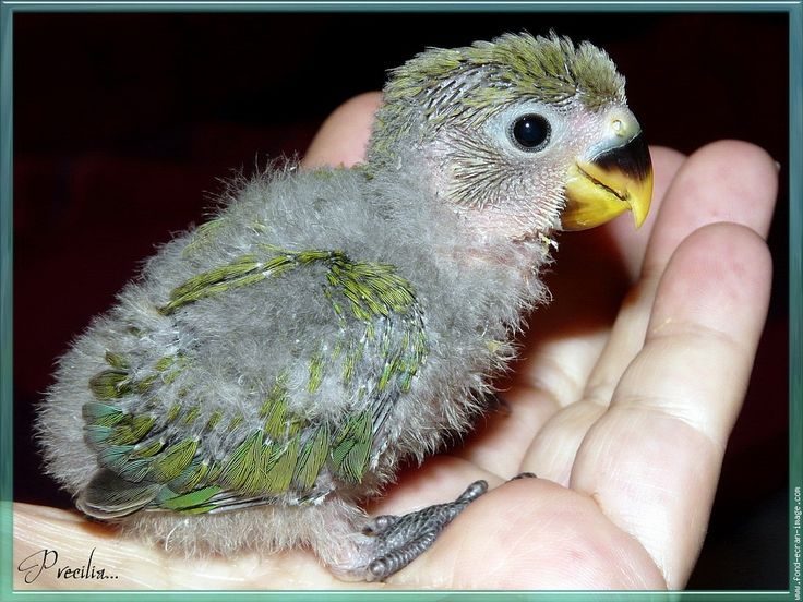 Oiseau inseparable petit plum 3