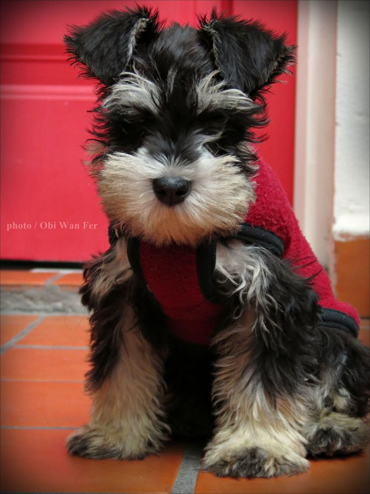 Mini schnauzer - We have two miniature Schnauzers and they are all this post says. *** Click image for more details about playing with pet dogs.