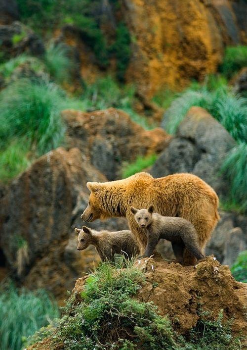Mama bear with her twin baby bears
