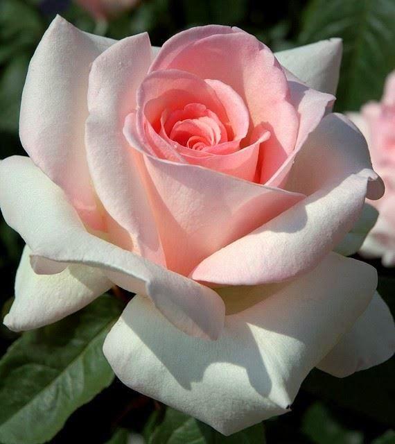 78 best roses images on pinterest hybrid tea roses. Black Bedroom Furniture Sets. Home Design Ideas