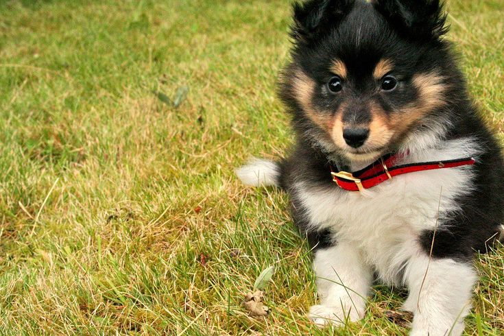 Click to read more about - Sheltie puppies facts - and many many more interesting dog articles