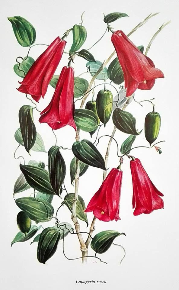 """Bella ilustración de una """"Lapageria rosea"""", en Sinopsis de la flora chilena, claves para la identificación de familias y géneros"""" (1959), de Carlos Muñoz Pizarro."""