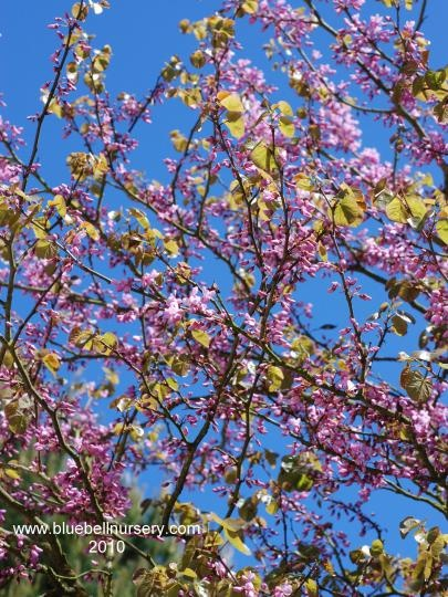 The 7 best images about spring flowering trees on for Pink small tree