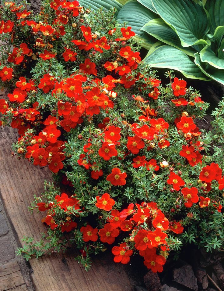 2:  Potentilla frut. Red Ace