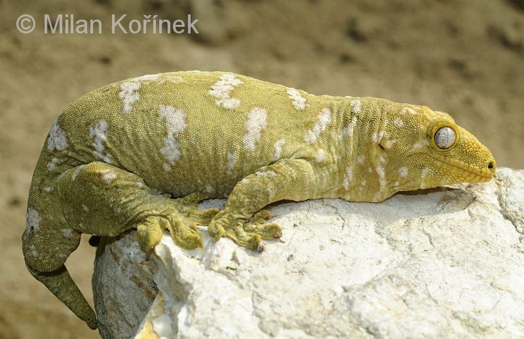 giant crested gecko - photo #30
