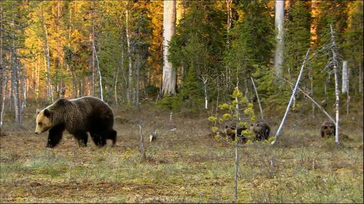 The brown bear (Ursus arctos) is Finland's national animal. Description from qesign.com. I searched for this on bing.com/images