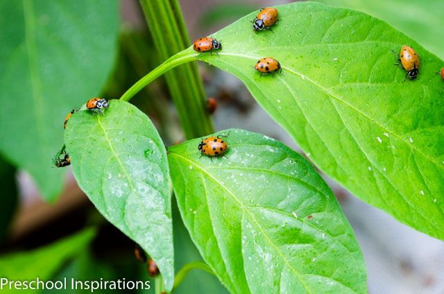 Ladybug Facts for Kids   Facts for kids, Ladybugs ...