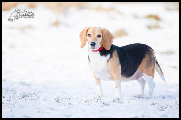 Bailey/Beagle Mix • Adult • Female • SmallBailey is the sweetest beagle you will ever meet! She is a happy girl that wants nothing more than a comfy bed and a nice lap to lay down on. She is six years young and enjoys her walks  North Country Animal League Morrisville, VT