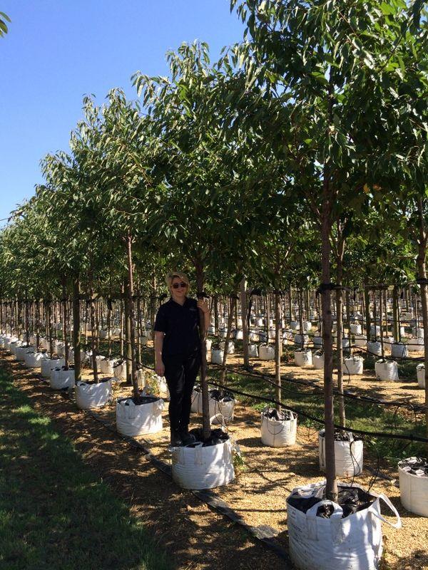 Prunus avium Plena, 14-16cm girth in 100ltrs