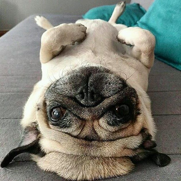 Don't laugh.....this is how I sleep ☛FOLLOW US☛@PugDepot for more cute pics and videos. ALSO Tap The Link in my BIO at @PugDepotand check out my newest #pug T-Shirts, Mugs and Leggings...Show off your PUG PRIDE or buy as a GIFT! ❤❤❤❤ @pugandman