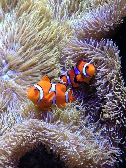 25 b sta clownfish id erna p pinterest tropiska fiskar for Clown fish adaptations