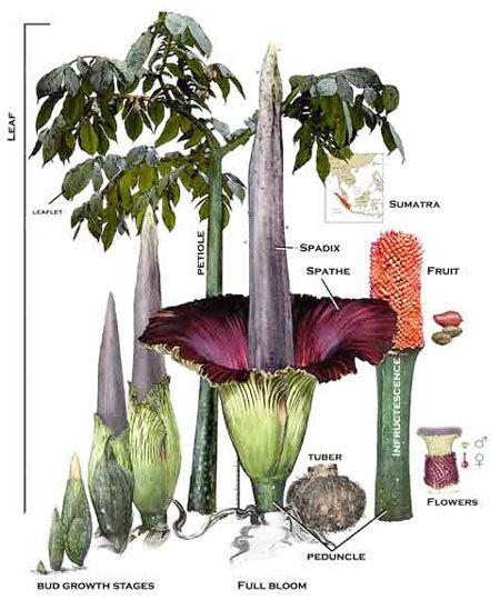 corpse flower, great krubi. EPIC Creature of the Month!: Amorphophallus Titanum