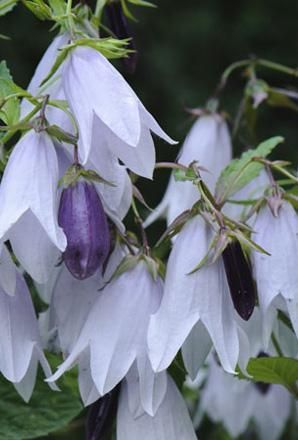 Buy Campanula Iridescent Bells Buy 1 Get 1 FREE!- Plants - Unwins Seeds