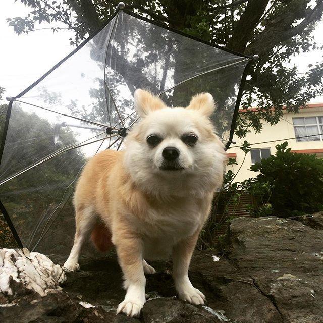 こんにちは😃 蒸し蒸しあぢーですね😆 * なな🐶地方 まだ雨は降ってないですー * フッと思い出し! #犬用傘  があったなぁと… ちょっと引っ張り出してみた☂️ で!何故か2本ある なんでも2つ買いたくなる病の パパさん… そーとー前に買ったけど 雨んぽでは2回しか使ってない💦 * 無理矢理撮影で不機嫌顔の なな🐶でした * * #チワワ#ロングコートチワワ#愛犬#傘#chihuahua#chiwawa#longcoatchihuahua#chihuahualife#chihuahualover#lovedogs#dogumbrella#chihuahuasofinstagram#petsofinstagram#dog#dogstagram#instadog