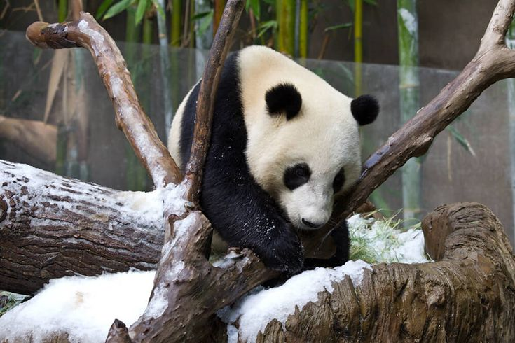 Giant pandas are curious and playful, especially when they're young.