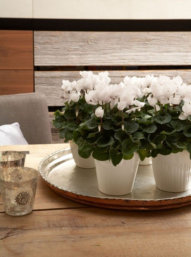 Witte cyclamen op een dienblad als blikvanger. Kamerplanten zijn natuurlijke sfeermakers in huis met bijzondere eigenschappen. Zo zijn ze niet alleen decoratief maar hebben ook een luchtzuiverende werking en een rustgevend effect. Zet bijvoorbeeld een paar witte cyclamen in witte bloempotten bij elkaar voor een mooi effect. Bloemen Bureau Holland