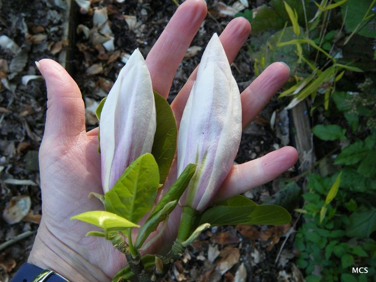 Buds on that tallest Magnolia in our garden - maybe 40 feet tall? - see more of the tree & a close-up of the flower in the adjacent pins - it has just a tinge of a pink stripe on very white petals.  9th April 2014