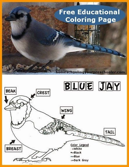 An educational Blue Jay Coloring Page for kids Free