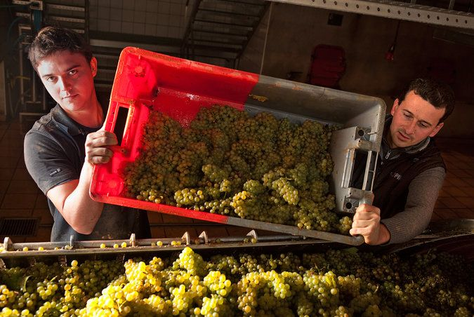 Putting a Face on Pinot Blanc - NYTimes.com
