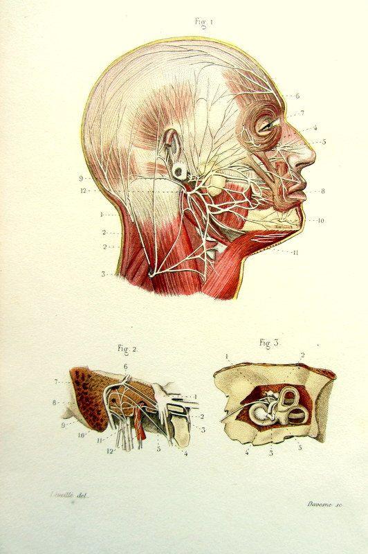 1852. Nerfs et les veines corps humain plaque. Face, oreille.  Anatomy. Pl. 100. Dessin de J.-B. Léveillé. Gravure : Davesne. See: https://pinterest.com/pin/287386019941490306/