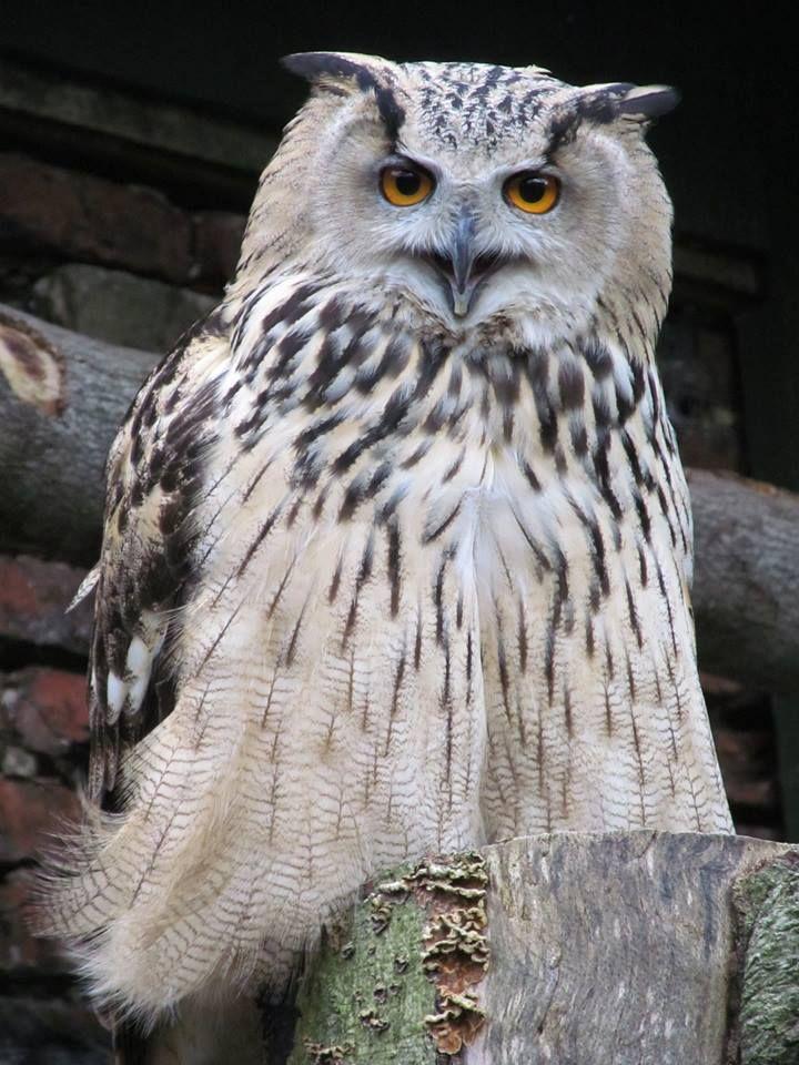 Cape Eagle Owl Diet